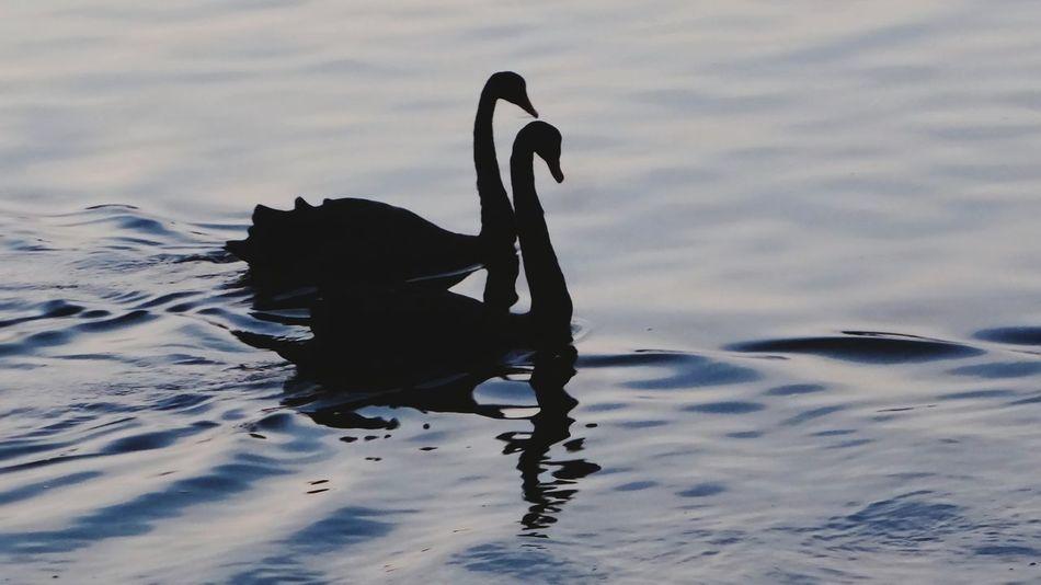 Birds Bird Photography Birds Of EyeEm  Swans Black Swans EyeEm Birds