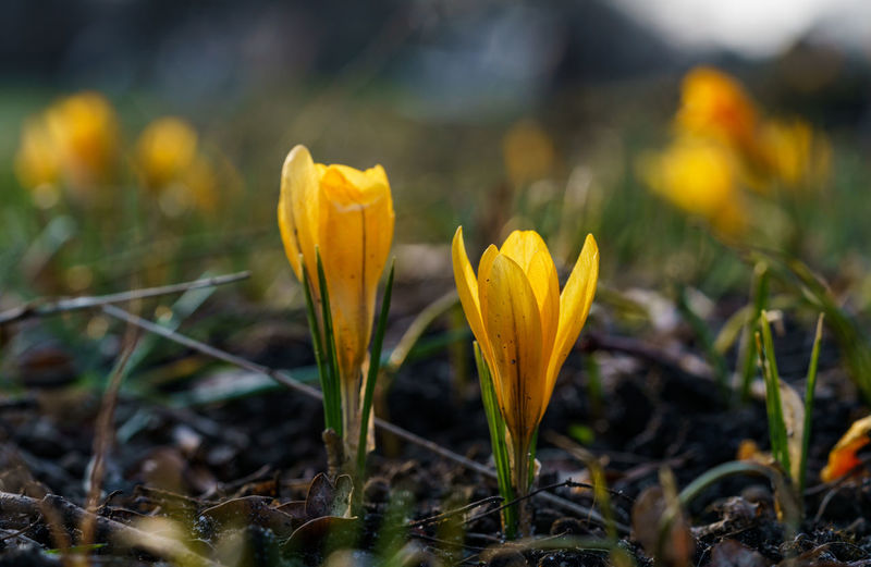Close-up of yellow crocus flower on field