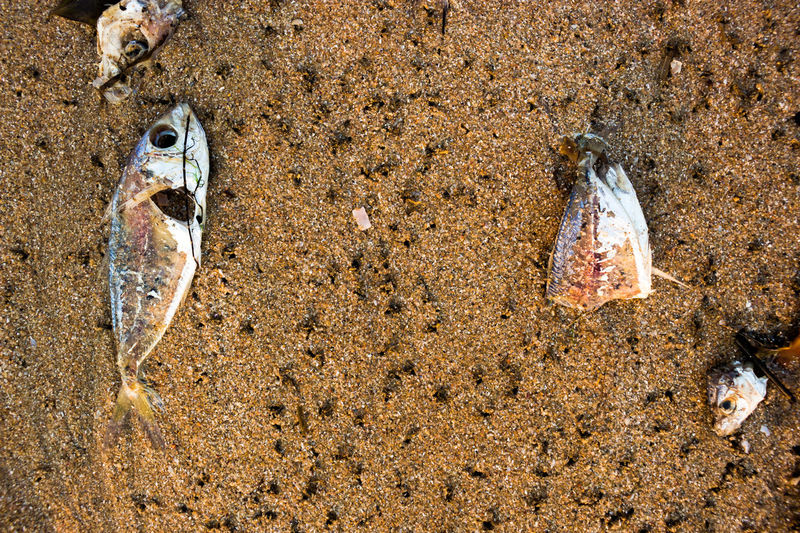 Beach Dead Fısh Fish Poison Sea Waste Water