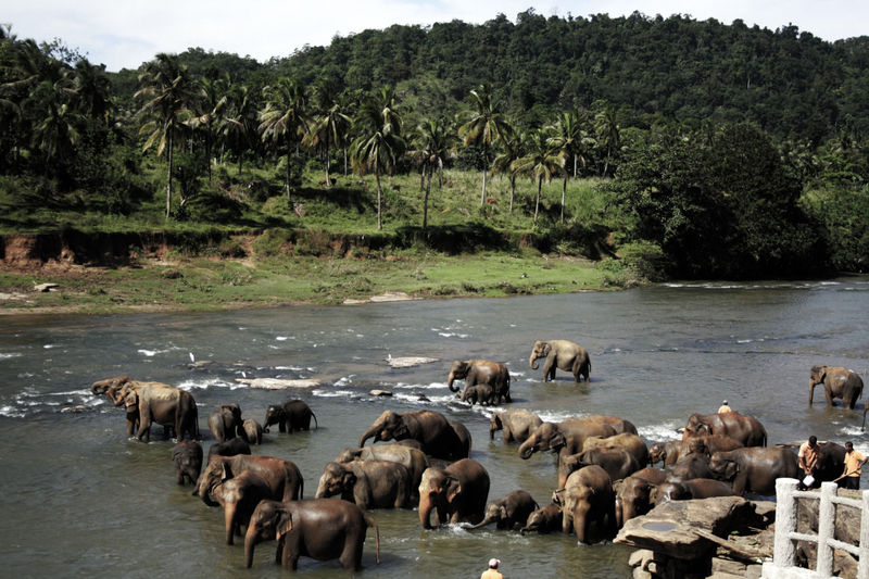 Elephant herd in water