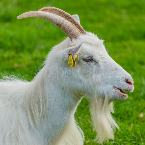 Beardy goat Goat Animal Animal Head  Animal Themes Field Focus On Foreground Grass Green Color Livestock Mammal No People One Animal Outdoors White Color