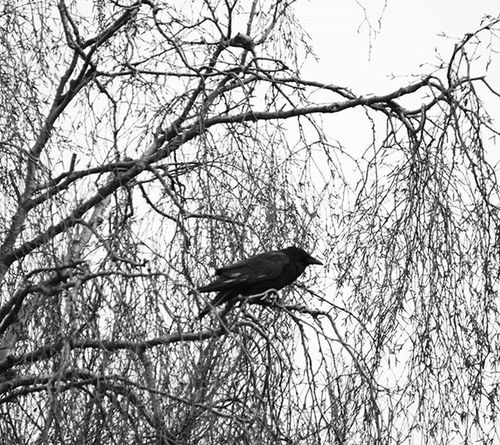 Day 5 of my 7daynaturechallenge - Large Crow I spotted in my tree. Igersmersey Igs_photos Ig_global_bw Ig_liverpool Bw Photography Bnw_rose Bw_photooftheday Bnw_zone Bs_world Ukpotd Tree_magic Tree_captures Ukwildlifeimages Uk_wildbirds Uk_birds Uk_wildlife_images Bnw_lombardia My_daily_bnw