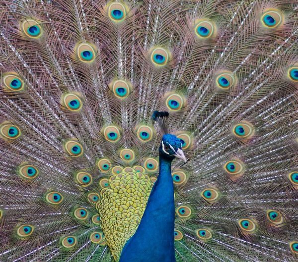 Peacock Bird Animal Themes Animal Animal Wildlife Peacock Feather Feather  Fanned Out Animals In The Wild Vertebrate No People Full Frame One Animal Close-up Beauty In Nature Multi Colored Day Blue Male Animal Natural Pattern Outdoors Animal Head  Animal Neck