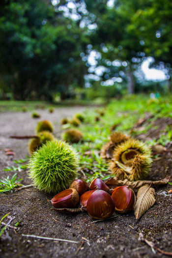 Acorn Chestnut Chestnut - Food Close-up Day Food Green Color Nature No People Nutshell Outdoors