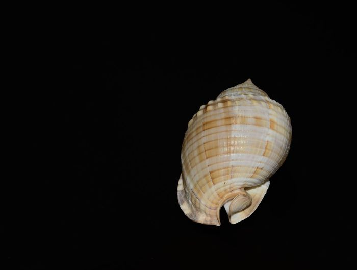 Close-up of seashell on black background