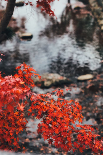 Red in the River Autumn Beauty In Nature Plant Change Orange Color Tree Nature Day No People Selective Focus Focus On Foreground Growth Outdoors Close-up Tranquility Branch Water Plant Part Leaf Land Autumn Collection Leaves Natural Condition Autumn colors Autumn Leaves 2018 In One Photograph