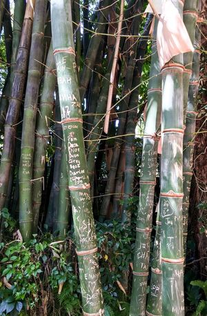 Etched Bamboo Nature Photography Tropical Climate Bamboo Stems Stalks Bamboo Shoots Nature Flora Plant Tropical Plants Green Botanical Carving Etched Marked Tagged Initials Symbolic  Romantic Alphabet Names Man Invades Nature Tree Carving Tropical Paradise Growing