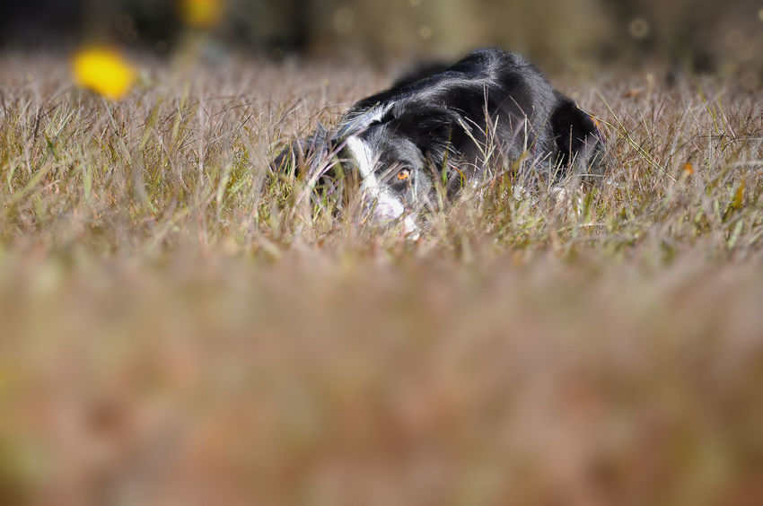 Border Collie Dog Walking Dogs Freedom Luino Animal Photography Animal Themes Black Color Bokeh Border Collie Close-up Day Dog Dog Photography Domestic Animals Flower Grass Leaf Mammal Nature No People One Animal Outdoors Pets Varese EyeEmNewHere Be. Ready.