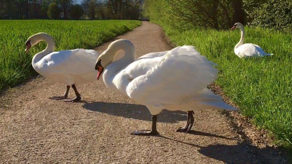 EyeEm Masterclass EyeEm Best Shots - Nature Schwanenfamilie Swan Swans Swan Series Swans ❤ Schwäne Schwan  Swantastic EyeEm Best Shots