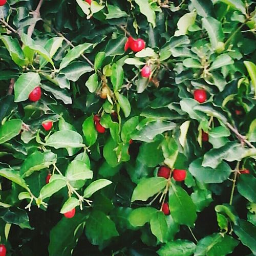 Fruits Cherry Lants Red