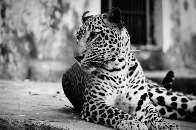 Leopard in the city Leopard Leopard In Zoo JAGUAR Cougar Panther EyeEm Selects Leopard Sitting Spotted Safari Animals Close-up Cheetah Tiger Cat Family