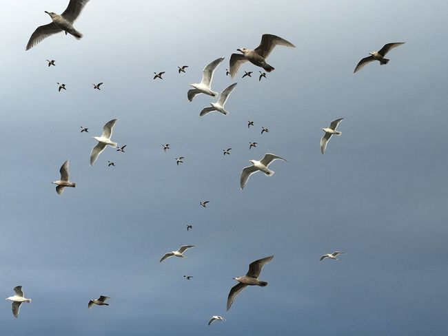 Seagull flock