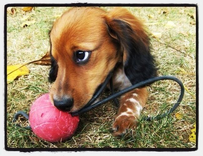 PaulPaulinger Dog Doxie Dachshund