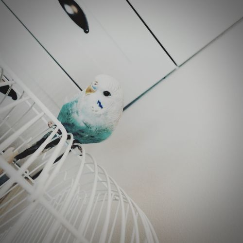 Love my bird Pi Bird Parakeet Budgie Terquoise First Eyeem Photo