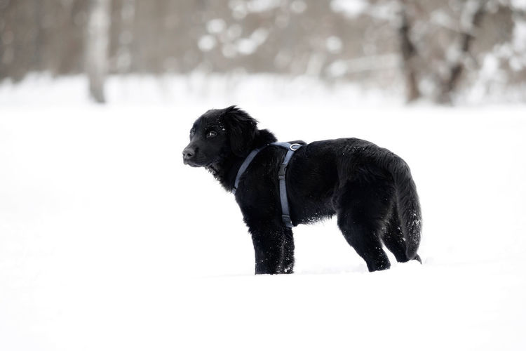 A black puppy is playing in the snow Animal Black Breed Cold Cute Dog Domestic Friend Fur Happy Ice Mammal Nature Obedient Dog Outdoor Outside Pet Playful Puppy Purebred Season  Snow White Winter Canine Pets Domestic Animals Vertebrate One Animal Animal Themes Cold Temperature Black Color Field Side View No People Day Snowing Outdoors Profile View