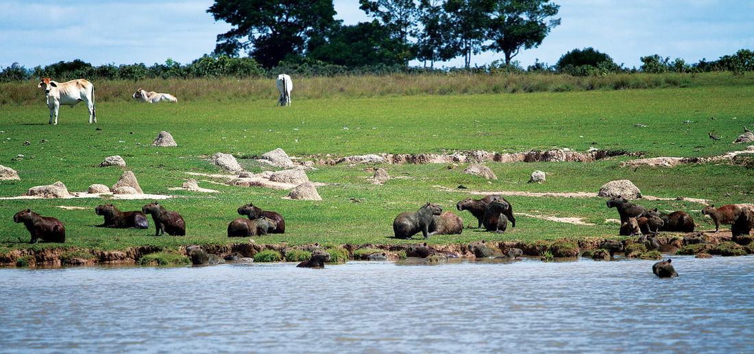 Capybaras with cows on riverbank against sky