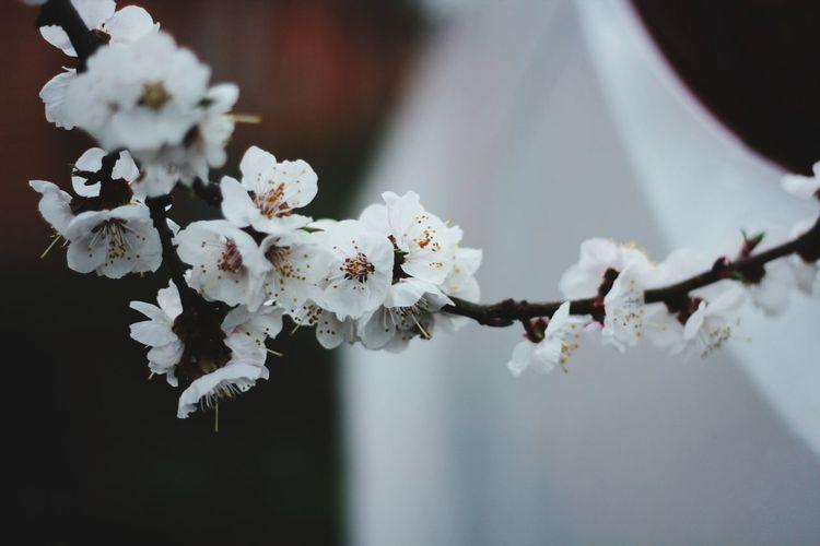 Blossom Apricot Nature Flower Branch Kyiv Kiev Spring Ukraine