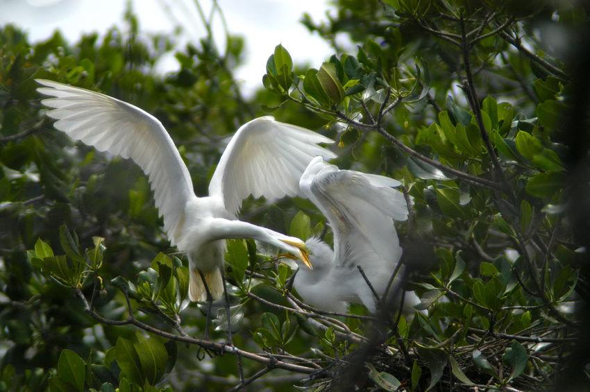 Beauty In Nature Biodiversity Birds Birds_collection Egretta Egretta Alba Growth Juvenile Nature Outdoors White Color Wild Wild Animal Wild Birds Wildlife Wildlife & Nature Wildlife Photography