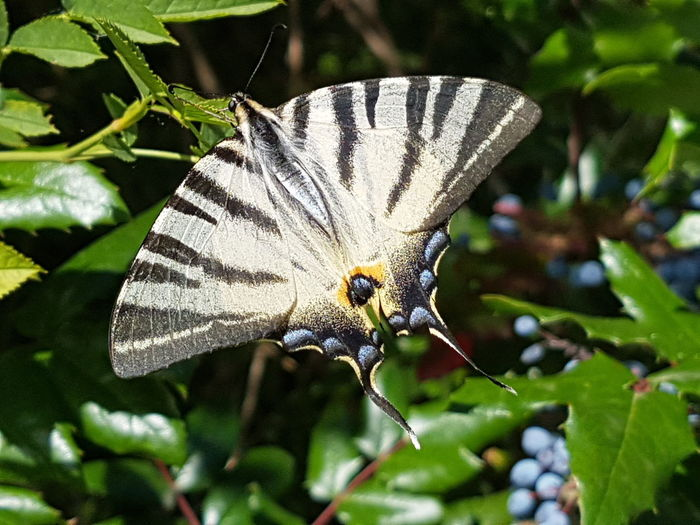 Sail Swallowtail Sail Swallowtail Schwalbenschwanz Podalirius Full Length Butterfly - Insect Leaf Spread Wings Insect Flower Head Close-up Animal Themes Animal Wing Butterfly Wild Animal