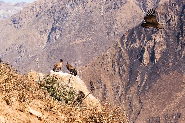 Three andean condors in colca canyon