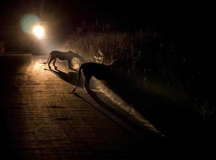 Dark Johannesburg Lion Advanture Africa African Safari Exercising Lion Watching Lioness Lions Night Practicing Safari Safari Adventure Safari Park Southafrica Wildlife
