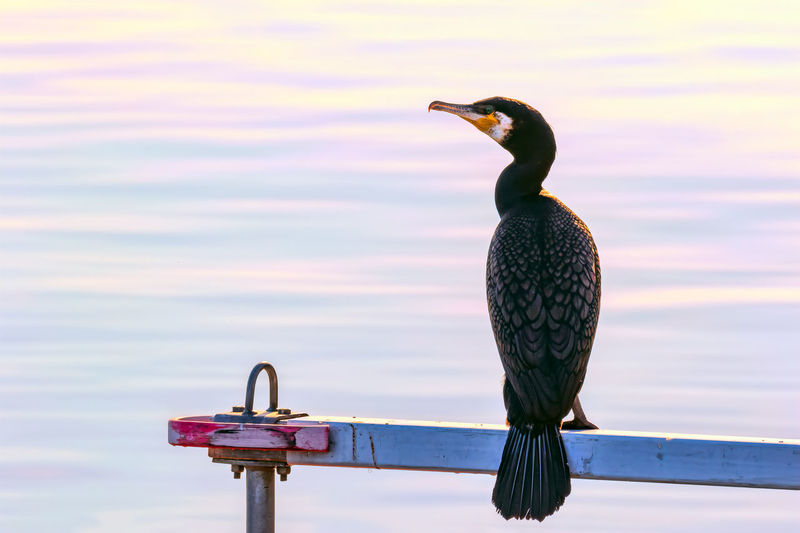 Rear View Of Cormorant Perching By Lake