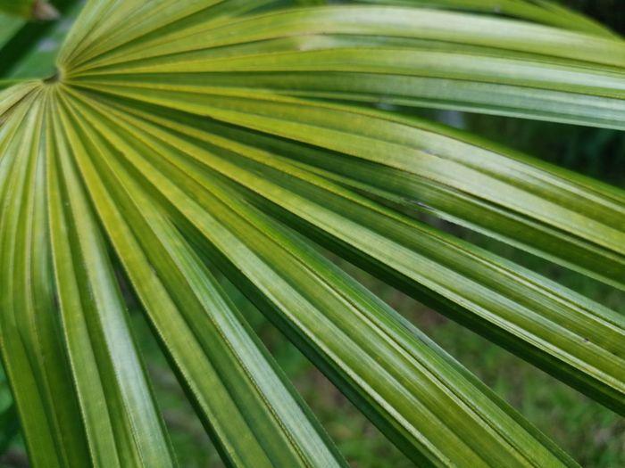 Close-up of palm leaf