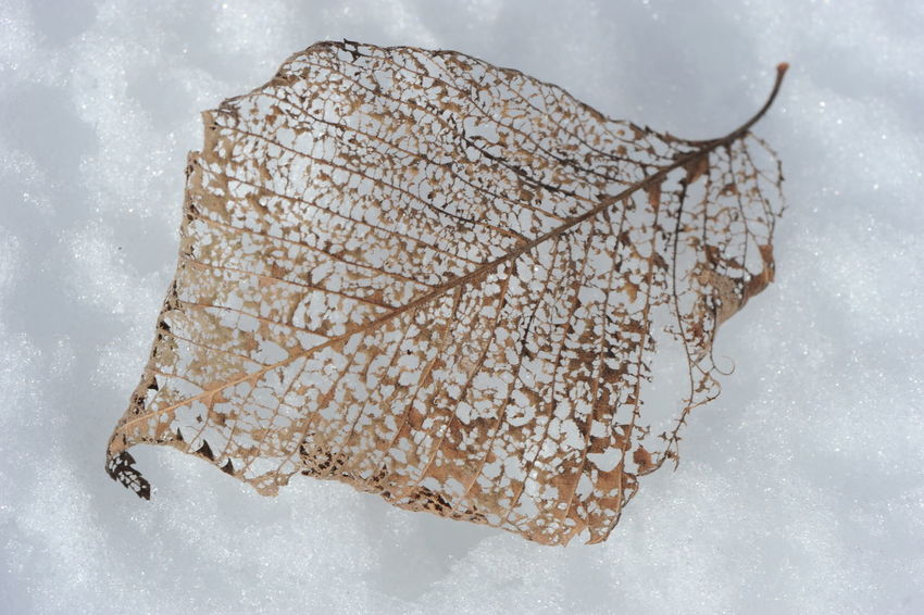 Lace Leaf Close-up Cold Temperature Day Lace Leaf Leaf Damage Leaf Decay Leaf Design Leaf Vein Leafs Photography Nature No People Outdoors Snow Snowing White Background Winter
