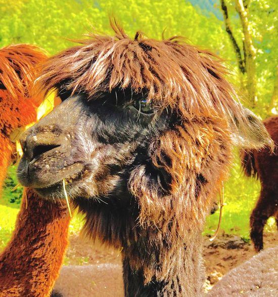 Lamas im Schwarzwald ❤️ Animal Themes Mammal Domestic Animals One Animal Outdoors Day Livestock No People Field Nature Close-up Grass EyeEm Nature Lover