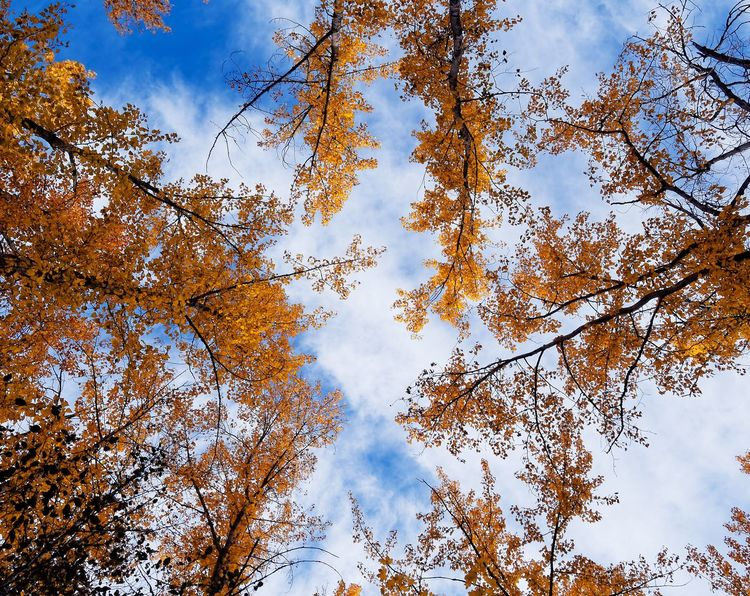 Golden Canopies Sky Nature Beauty In Nature No People Tree Low Angle View Close-up Outdoors Day Cloud - Sky Autumn Fall Leaves Golden Orange Deciduous Deciduous Tree Branches Looking Up Bright Kelowna Okanagan
