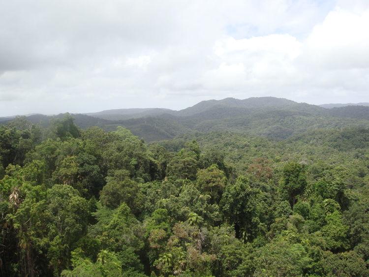 Australia Landscape Rainforest Trees Cairns, North Queensland, Australia