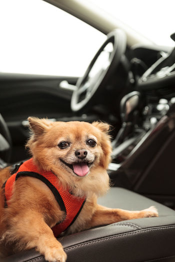 Close-up portrait of dog sitting in car