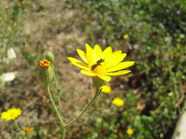 Simple Simple Beauty Simple Photography Yellow Flower Flower Bug On A Flower Insect Insect Photography Insectonaflower Growth