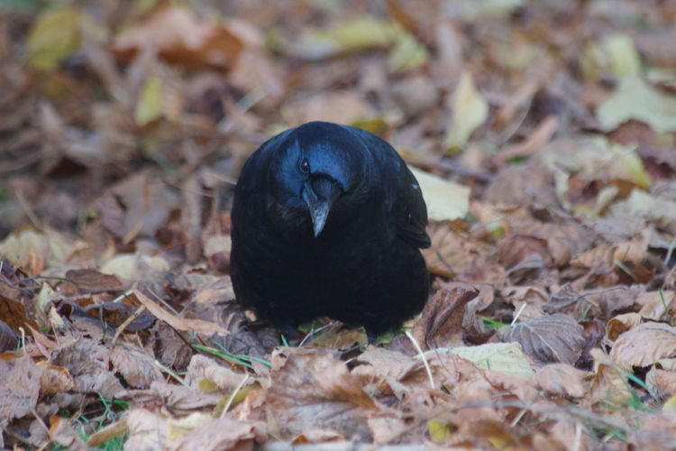 Animal Animal Themes One Animal Black Color Leaf Day No People Bird Outdoors Leaves Crow