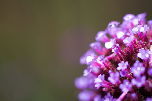Verbena bonariensis with copyspace Beauty In Nature Close-up Copyspace Day Flower Flower Head Fragility Freshness Growth Nature No People Outdoors Petal Plant Purple Selective Focus Verbena Bonariensis