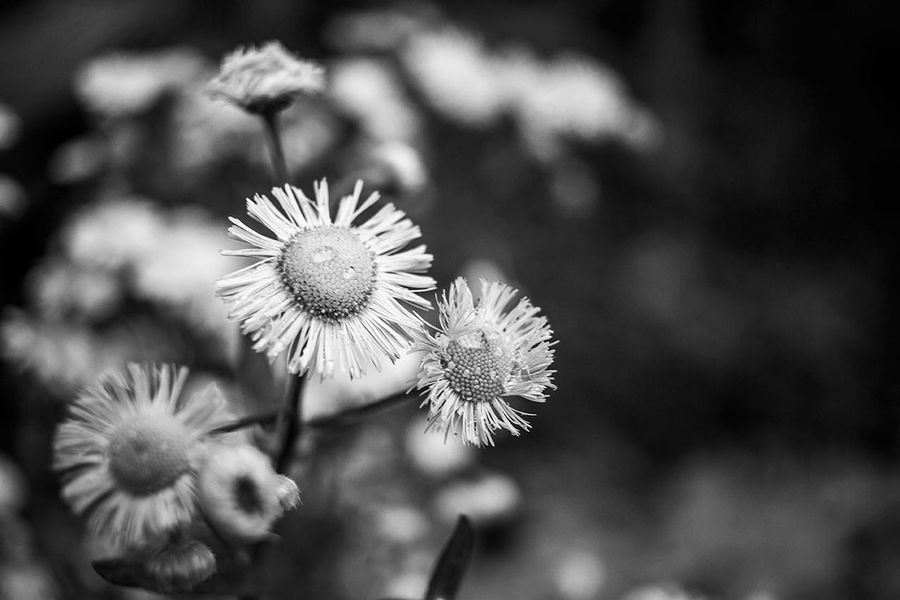 Daisy Flowers,Plants & Garden Nature Raindrops Black And White Close Up Close Up Flowers Dew Drops Floral Flower First Eyeem Photo