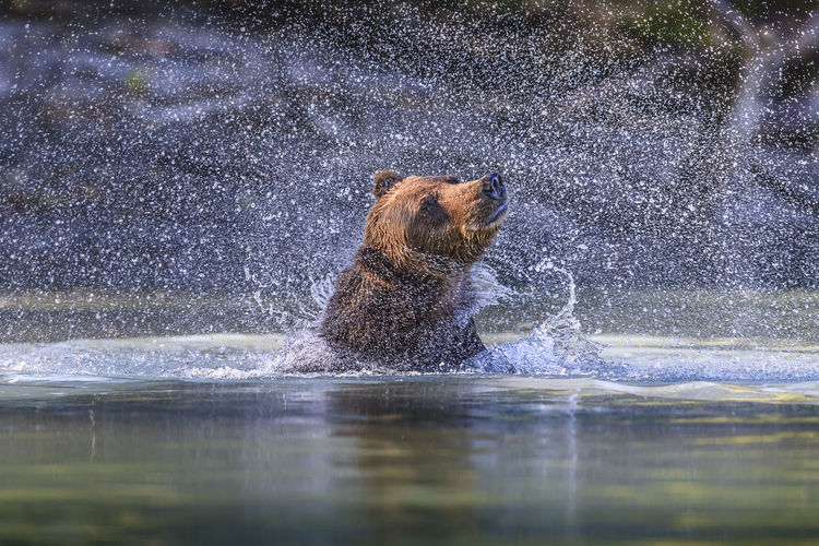 Lake Clark National Park Water Drops Aggression  Animal Animal Themes Animal Wildlife Animals In The Wild Bear Day Grizzly Bear Lake Mammal Motion Nature No People One Animal Outdoors Splashing Vertebrate Water Water Spray Waterfront