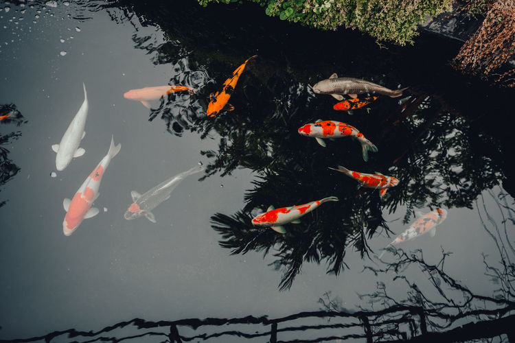 lot of koi fish