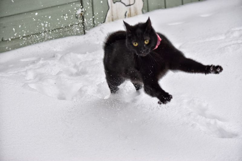 Black cat on white snow Domestic Cat Cat Pets Feline Domestic Animals Mammal Winter Snow Cold Temperature Nature No People Animal Themes Day