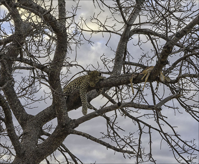 Animal Themes Animal Wildlife Animals In The Wild Bare Tree Beauty In Nature Branch Leopard, Cat, Feline, Bg Cat, Rosettes, Spots, Carnivore, Predator, Tree Climber, Low Angle View Mammal Nature No People One Animal Perching Safari Animal Tourism, Travel, Adventure, Safari, Holiday, Vacation, Game Vewing, African Adventure, Tree