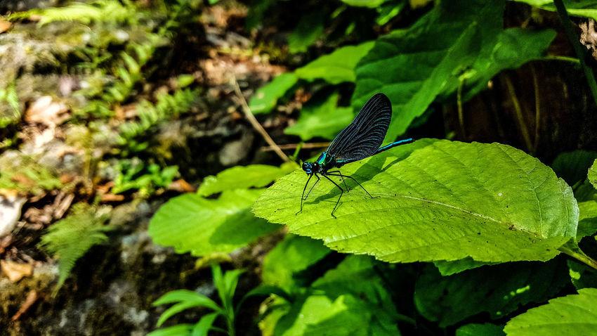 Ordu Aniyakala Doğa Dogal Nature Naturalness Ordu TURKEY Natural Türkiye Turkey Vahşi Hayat Animal Wild Life Hayvan Dere Dragonfly Yusufcuk
