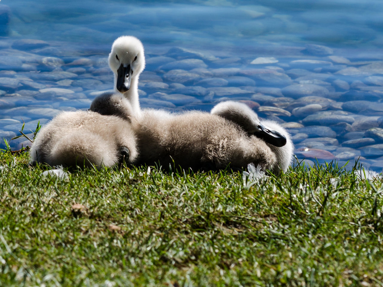 Cygnets Relaxing On Grassy Field By Lake