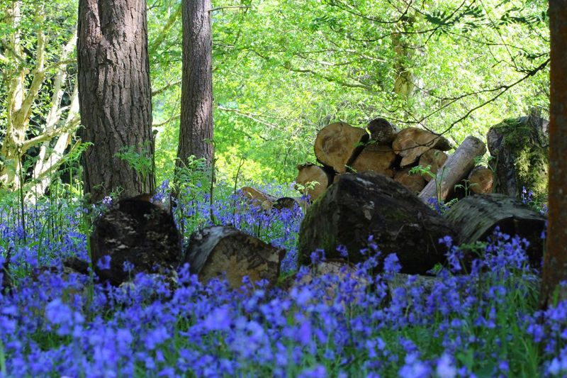 Forest Bluebell