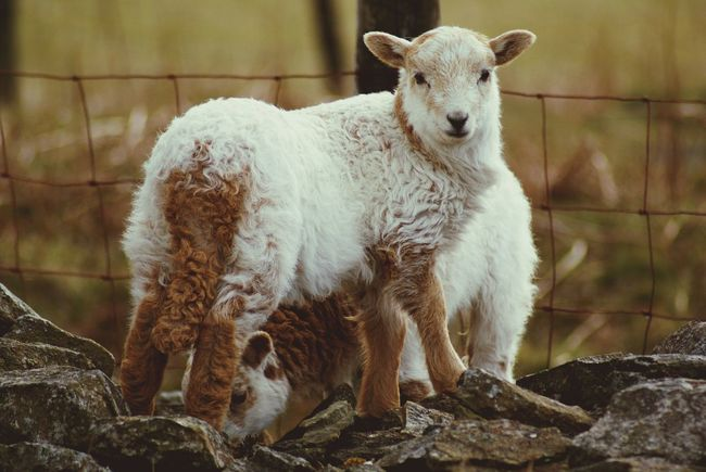 Animal Themes Mammal Sheep One Animal Young Animal Focus On Foreground Livestock No People Day Outdoors Field Kid Goat Nature Animal Wildlife Animals In The Wild Lamb Wales