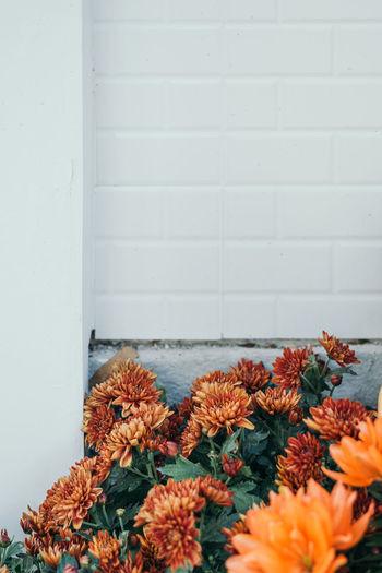 Orange flowers garden on white brick background. Home Garden Bunch Of Flowers Close-up Flower Flower Head Flowering Plant Flowers Garden Freshness House Garden Nature Orange Color Orange Flower Plant White Background White Brick Wall White Color