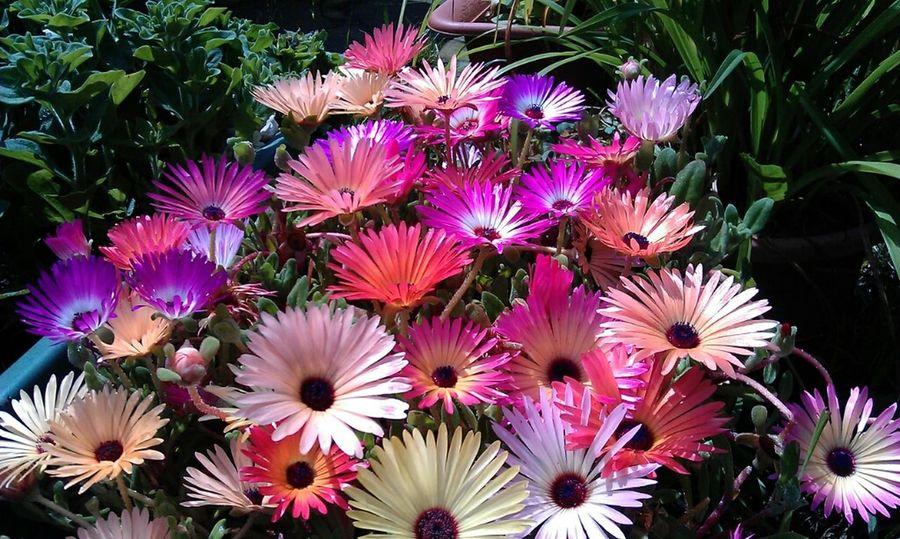 Livingstone Daisies from my garden Summer Flowers Livingstone Daisies