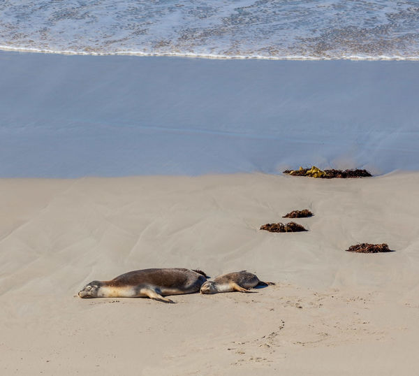 Seals lying on sand at beach during summer