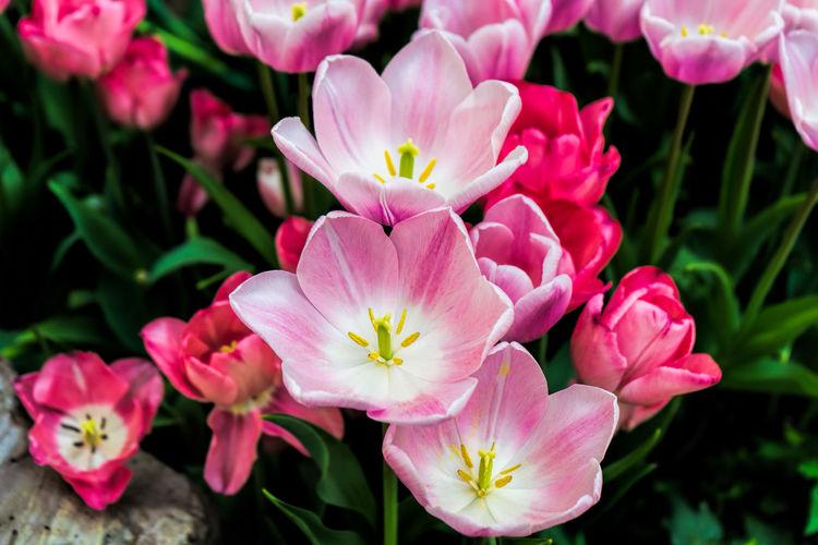 Tulips Tulips🌷