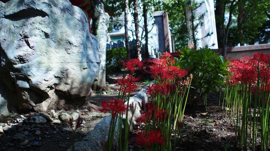 日陰で咲く Spiderlily Red Flowerporn M.zuiko Photowalk Streamzoofamily