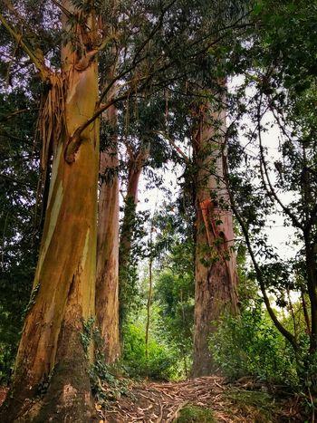 Tree Nature Outdoors Beauty In Nature Eucalyptus Tree